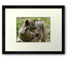 wolf expression Framed Print