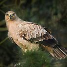 Tawny Eagle by Patricia Jacobs CPAGB LRPS BPE3