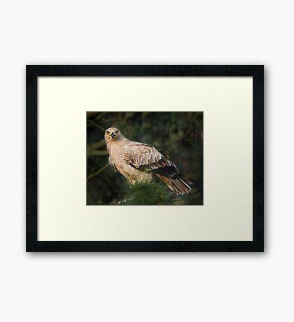 Tawny Eagle Framed Print