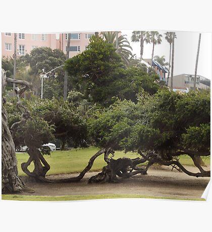 La Jolla Classic Monterey Cypress Trees Poster