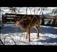 Odocoileus Virginianus - White-Tailed Fawn In Winter  by © Sophie W. Smith