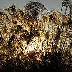 Sun Behind Weeds by rjonesphotos