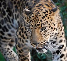 Leopard Pacing by Kathleen Brant