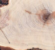 Top view of a fresh tree stump from felled maple in a forest  Sticker