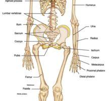 Grey's Anatomy-skeleton Sticker