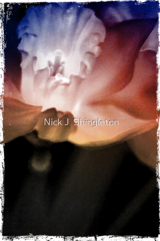 Daffodil in bloom by Nicola jayne