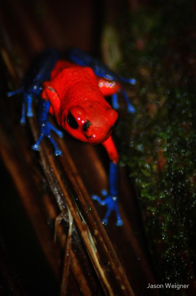Strawberry Poison Dart Frog (Oophaga pumilio) - Costa Rica by Jason Weigner
