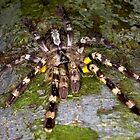 Indian Ornamental Tarantula  by Kawka
