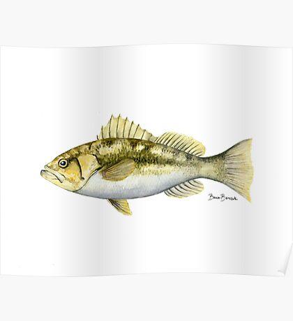 Kelp Bass Poster