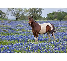 Horse in Texas Bluebonnets Photographic Print