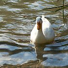 White Duck on a pond by Sara Sadler