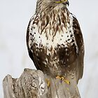 Rough Legged Hawk Perched by Mavourneen Strozewski