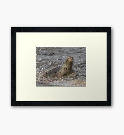 Atlantic Grey Seal Framed Print