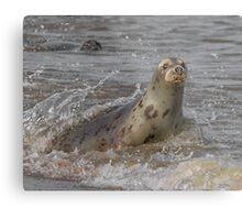 Atlantic Grey Seal Metal Print
