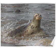 Atlantic Grey Seal Poster