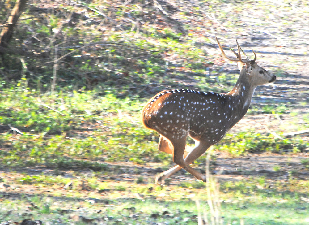 Axis Deer on the Run by DottieDees