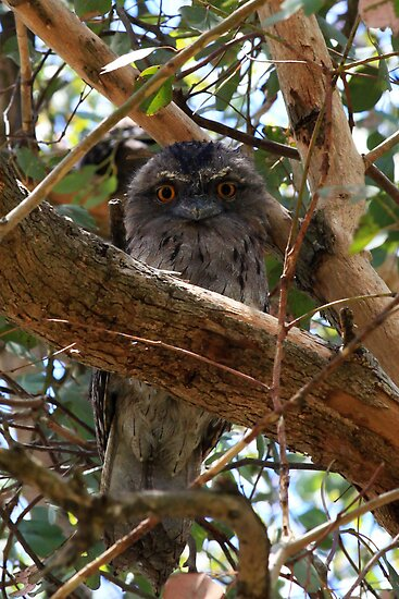 Younge Tawny Frog Mouth - wide eyed and bushy tailed by john  Lenagan