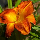 "Day Lily. ""Sweet Summer Heat"" One of my wife's favourites. by johnrf"