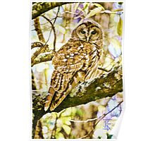 Barred Owl in Fall Poster