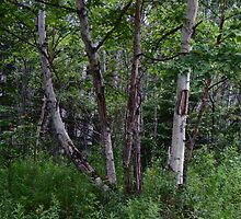 Birch Trees by TCbyT