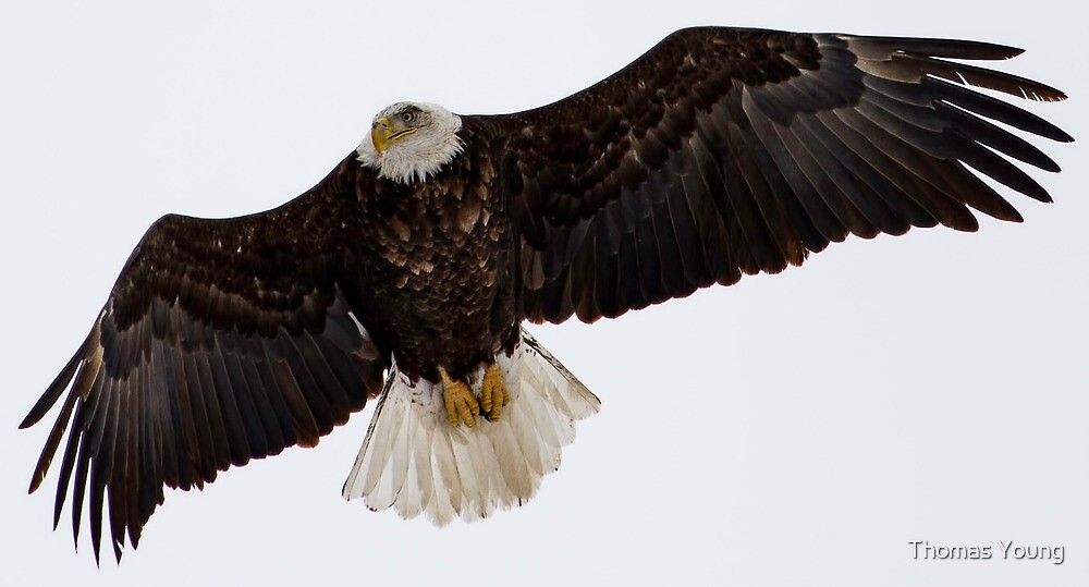 Adult American Bald Eagle in Flight 2 by Thomas Young