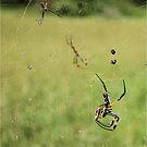 GOLDEN ORB - WEB SPIDER - SPINNEKOP -  Family Tetragnathidae by Magriet Meintjes