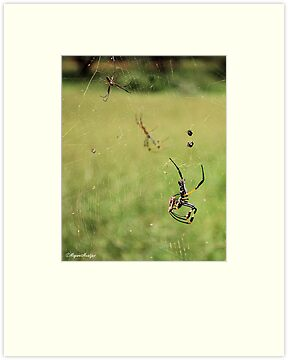 GOLDEN ORB - WEB SPIDER - SPINNEKOP -  Family Tetragnathidae by Magaret Meintjes