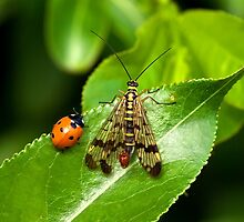 Scorpion Fly and Ladybird by Kawka