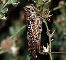 Locust by taiche