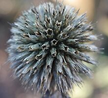 Echinops thistle by simontait