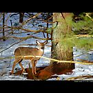 Odocoileus Virginianus - White-Tailed Doe - Middle Island, New York  by  Sophie Smith