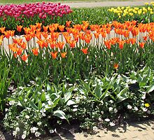 Colourful Tulips in the Keukenhof Gardens  by BlueMoonRose