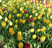 Random Mixture - Tulips in the Keukenhof by Kathryn Jones