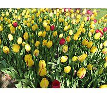 Random Mixture - Tulips in the Keukenhof Photographic Print