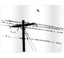 Birds Gather on a Telephone Pole Poster