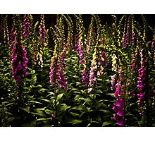 Forest of summer foxgloves. Photographic Print
