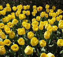 Golden Dreams - Tulips in the Keukenhof Gardens by MidnightMelody