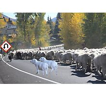 "Whadda ya mean you want to go back…..can't you read the sign????  It says 'No Ewe Turn"" ! Photographic Print"