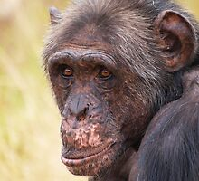Project Chimpanzee by Amy Atherton