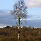 Silver Birch by mikebov