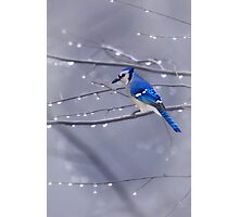 BLUE JAY IN THE RAIN Photographic Print
