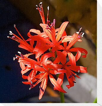 "Nerine ""Fothergilli Major"" by johnrf"