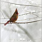 CARDINAL IN THE RAIN by TOM YORK