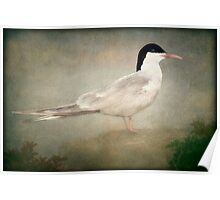 PORTRAIT OF A TERN Poster