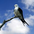 SWALLOW TAILED KITE by TomBaumker