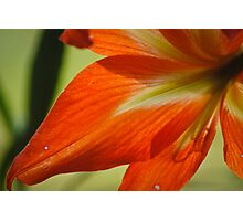Scarlet Lily Petal Photographic Print