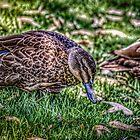 Walking Duck  by robyn70