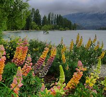 Lupin Colour at the Wanaka Tree ( 3 by Larry Lingard-Davis
