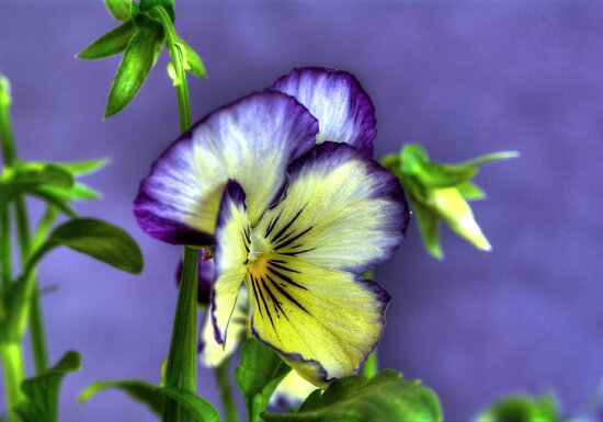 Painted Pansies. by Bette Devine