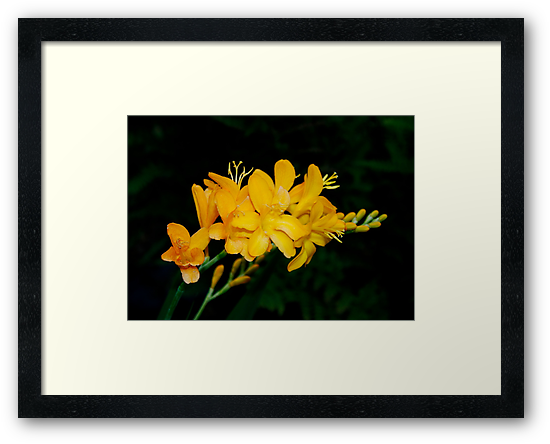 Yellow Freesia by AnnDixon